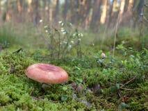 Pieczarka w lesie Zdjęcia Royalty Free