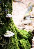 Pieczarka w lesie Obraz Stock