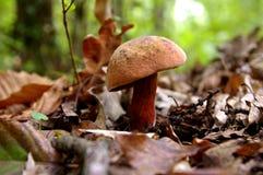 Pieczarka w lesie Zdjęcia Stock