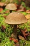 Pieczarka w lesie, borowik Zdjęcie Stock