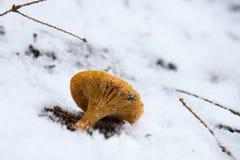 Pieczarka w śniegu Pogodowa anomalia globalne ocieplenie Obraz Stock