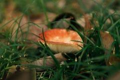 Pieczarka z czerwonym kapeluszowym Russula od genus Russulaceae zdjęcia stock