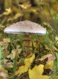 Pieczarki dalej z łacińskim imię agaricus silvaticus w lasowej haliźnie Zdjęcie Royalty Free