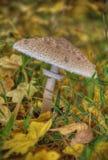 Pieczarki dalej z łacińskim imię agaricus silvaticus w lasowej haliźnie Zdjęcia Royalty Free