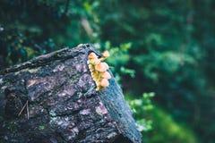 Pieczarki grupują na rżniętym drzewnym bagażniku zdjęcia stock