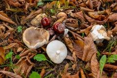 Pieczarki i kasztany na lasowej podłoga z ulistnieniem i trawą Zdjęcie Royalty Free
