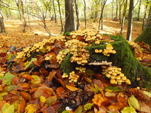 Pieczarki i liście w jesieni zdjęcie royalty free