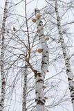 Pieczarki na brzozy drzewie Zdjęcie Royalty Free