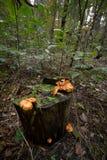 Pieczarki na drzewnym fiszorku Zdjęcie Royalty Free