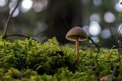 Pieczarki na lasowej podłoga Fotografia Stock