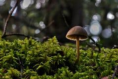 Pieczarki na lasowej podłoga Fotografia Royalty Free