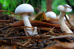Pieczarki przy lasem Fotografia Royalty Free