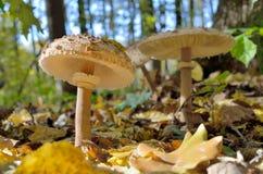 Pieczarki r w drewnach wśród spadać liści Obraz Royalty Free