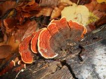 Pieczarki Trametes versicolor Fotografia Stock