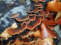 Pieczarki Trametes versicolor Zdjęcia Stock