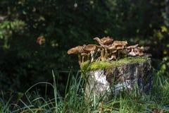 Pieczarki w drzewnym bagażniku Zdjęcia Stock