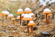 Pieczarki w jesień drewnie Obrazy Royalty Free