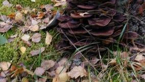 Pieczarki w jesień lesie zbiory wideo