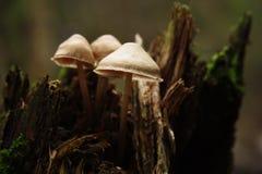 Pieczarki w jesień lesie fotografia stock