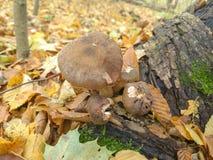 Pieczarki w jesień lesie zdjęcia royalty free