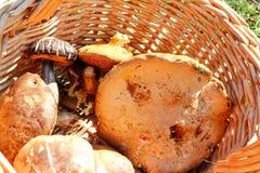 Pieczarki w koszu Pieczarkowy zrywanie w lesie podczas jesieni w naturze Niejadalny pieczarkowy dorośnięcie Obrazy Stock