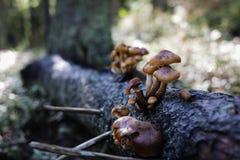 Pieczarki w lesie Zdjęcia Stock