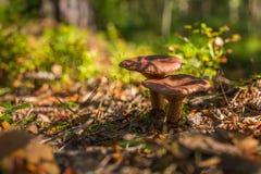 Pieczarki w lesie Zdjęcie Royalty Free