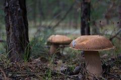 Pieczarki w lesie Obrazy Stock