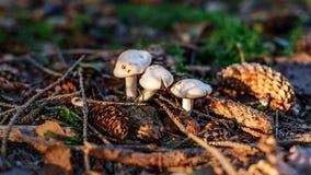Pieczarki w lesie Zdjęcie Stock