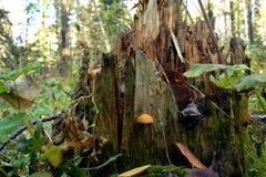 Pieczarki w lesie na drzewnym fiszorku na tle liście i trawa, Zdjęcie Stock