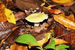 Pieczarki w lesie tropikalnym Obraz Stock