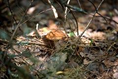 Pieczarki w naturze z płytką głębią pole Fotografia Stock