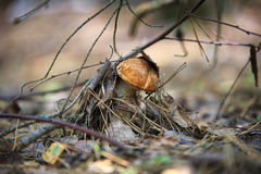 Pieczarki w naturze z płytką głębią pole Obraz Royalty Free