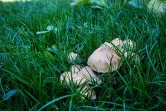 Pieczarki w trawie zdjęcia stock