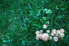 Pieczarki w trawie zdjęcie royalty free
