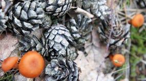 pieczarkowa pomarańcze Obrazy Stock