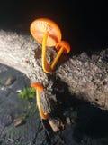 pieczarkowa pomarańcze zdjęcie stock