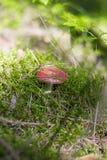 Pieczarkowego †'menchii russule w lesie Fotografia Royalty Free