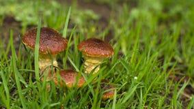 Pieczarkowi bliźniacy w ranek trawie Fotografia Royalty Free