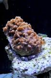 Pieczarkowi korale Zdjęcia Stock