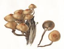 Pieczarkowi Pholiota mutabilis Obraz Royalty Free
