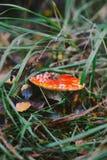 Pieczarkowy amanita Fotografia Stock