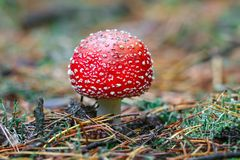 Pieczarkowy Amanita muscaria fotografował zakończenie w lesie Obraz Stock