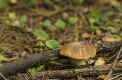 Pieczarkowy Borovik w lasowej haliźnie zdjęcia stock