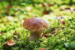 Pieczarkowy borowik lub cep w jesień lasu mech Zdjęcia Royalty Free
