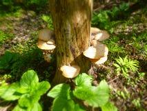 Pieczarkowy drzewo Fotografia Royalty Free