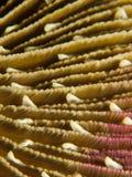 Pieczarkowy Koral - Fungia sp. Obrazy Stock