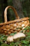 Pieczarkowy kosz i Agaricus augustus mech i pieczarka Fotografia Stock