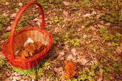 Pieczarkowy kosz i Gyromitra przy natura lasu tłem Fotografia Stock