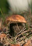 Pieczarkowy Leccinum carpini zdjęcie royalty free